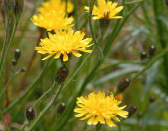 autumn-hawkbit