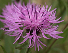 commonknapweed